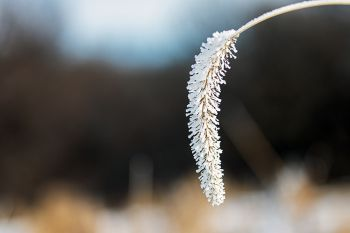 Frost weighing down some ornamental grass along the trail at Good Earth State Park.