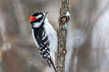 Downy woodpecker at Big Sioux Recreation Area.
