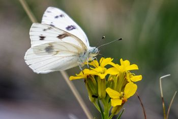 White butterfly on western wallflower just beginning to bloom.