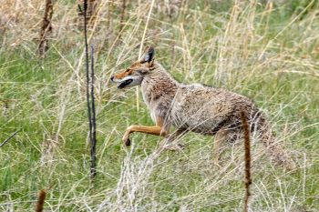 A coyote mother hurrying to her den in Wind Cave National Park.