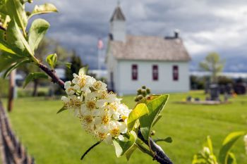 Chokecherry blossoms on the edge of Little Dane Church yard in rural Lawrence County.