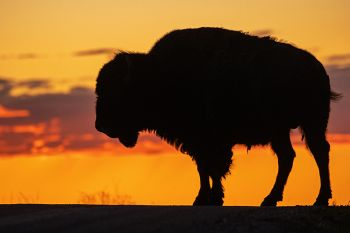 Badlands bison silhouetted against the sunset sky along Sage Creek Wilderness Road.