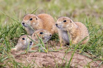 Young prairie dogs at Wind Cave National Park.