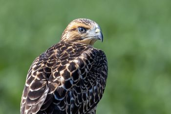 Swainson's hawk on the Duncan church road in rural Buffalo County.