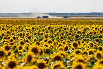Sunflowers and wheat harvest in Hand County.