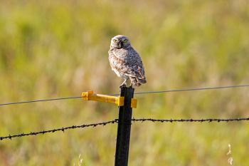Burrowing owl giving me the what for in Hand County.