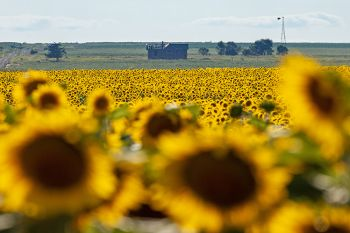 Sunflowers and abandoned house in Hand County.
