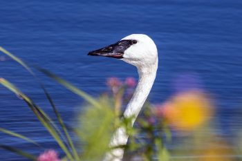 Trumpeter swan with wildflower foreground in Deuel County.