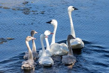 The full swan family swimming away from yours truly.