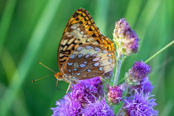 Great spangled fritillary found along a fen southwest of Marvin.