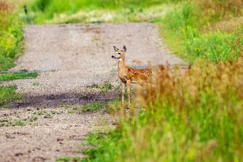 Fawn on the lookout in Esmond.
