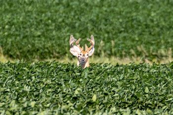 Two whitetails in velvet in a soybean field near Ree Heights.