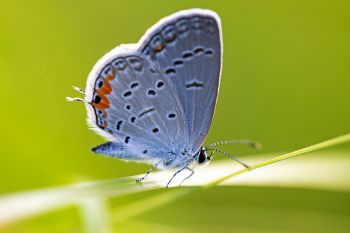 Eastern-tailed blue butterfly at Aurora Prairie Preserve in Brookings County.