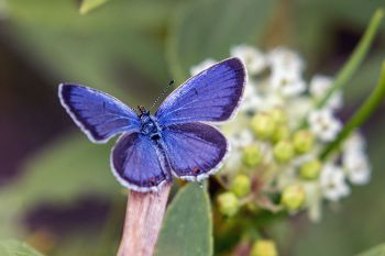 The beautiful blue on the other side of an Eastern-tailed blue.