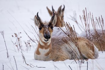 Pronghorn seemingly unfazed by the snow and cold at Custer State Park.