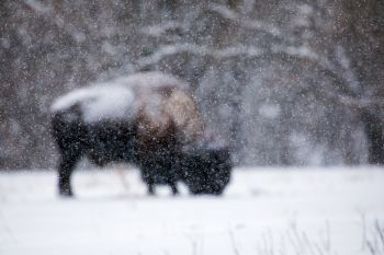Focusing on the snowfall in front of the bison.