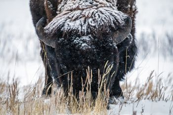 Snowfall on bison bull at Custer State Park.