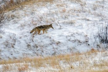 Coyote hunting at Wind Cave National Park.
