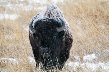 Bison grazing at Custer State Park.