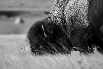 American Bison grazing at Badlands National Park.