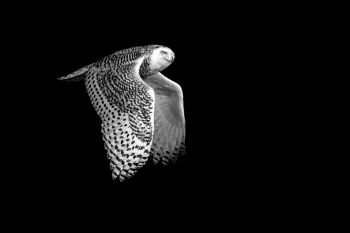 Snowy Owl in flight northwest of Sioux Falls.