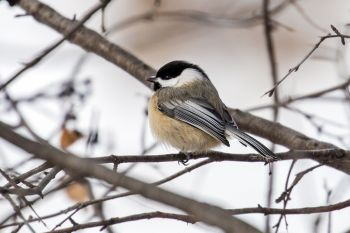 Black-capped chickadee at Good Earth State Park.