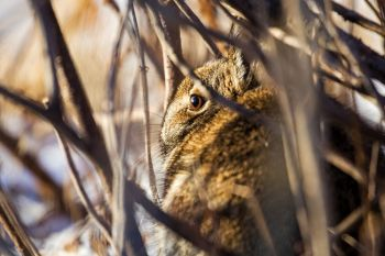 Rabbit hiding in plain sight in northwestern Sioux Falls.