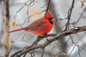 Northern Cardinal in a snowstorm at the Sioux Falls Outdoor Campus.