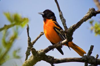 A Baltimore Oriole calling to his neighbors