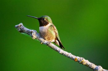 Male Ruby-throated hummingbird perched over his territory