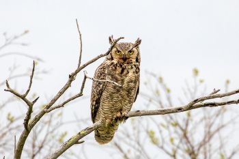 A great horned owl spotted along Highway 20 in rural Perkins County.