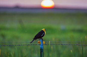 A yellow-headed blackbird sunset along a country road in Kingsbury County.