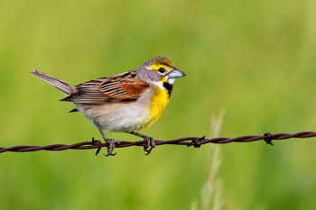 A dickcissel on a wire along a country road in Turner County.