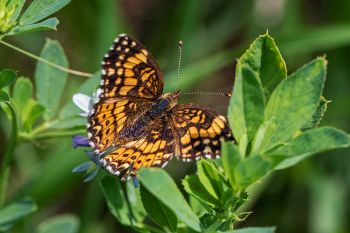 A Pearl Crescent Butterfly at Badlands National Park.