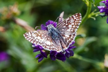 Common Checkered-Skipper in Badlands National Park.
