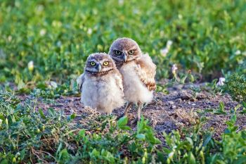 Two burrowing owlets posing for a family photo along the Quinn Road in Badlands National Park.
