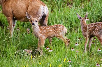 New fawn twins with their mother at Custer State Park.