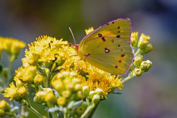 Clouded sulphur on goldenrods in bloom at Lake Herman State Park.