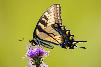Eastern tiger swallowtail at Lake Herman State Park.