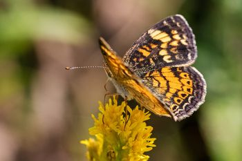 Pearl crescent on goldenrod at Lake Herman State Park.