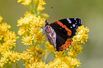 Red admiral on goldenrod at Lake Herman State Park.
