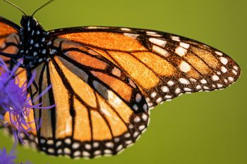 Backlit monarch wings at the Dells of the Big Sioux near Dell Rapids.