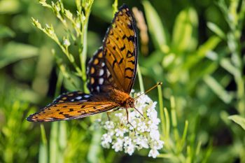 Regal fritillary in rural Deuel County.