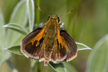Tawny-edged skipper at Hartford Beach State Park along Big Stone Lake.