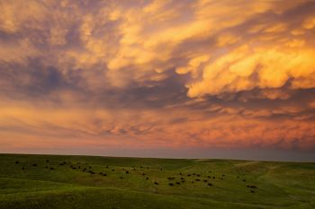 Bison and mammatus clouds lit by the setting sun north of the White River.
