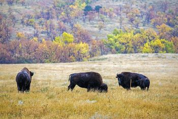 Bison in the foothills of Bear Butte.