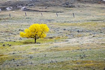 A lone tree along the JB Pass Road in the Slim Buttes.