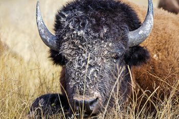 A bison cow at Wind Cave National Park enjoys a mud facial from the recent rains.