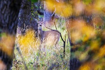 White-tail deer framed by autumn leaves along the wildlife loop in Custer State Park.