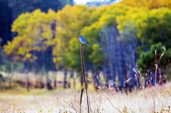 A mountain bluebird with fall color as a background in the southern portion of Custer State Park.